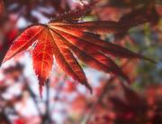 28th Apr 2015 - New Maple Leaf