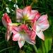 Amaryllis,  Magnolia Gardens, Charleston, SC by congaree