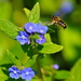 BUZZING BY THE BORAGE by markp