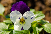 28th Apr 2015 - Viola tricolor