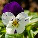 Viola tricolor   by elisasaeter