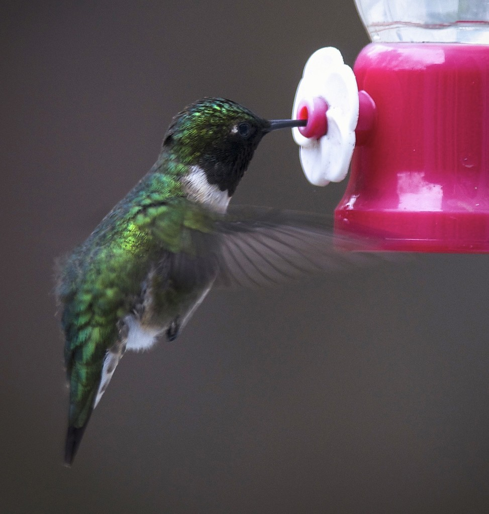 First Ruby Throated Hummingbird of the season by berelaxed