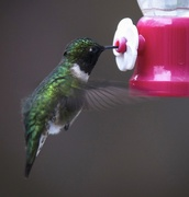 28th Apr 2015 - First Ruby Throated Hummingbird of the season
