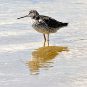 28th Apr 2015 - Lesser Yellowlegs and reflection