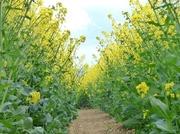 28th Apr 2015 - Path through a field of Rape