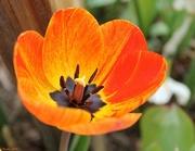 27th Apr 2015 - Fiery Tulip