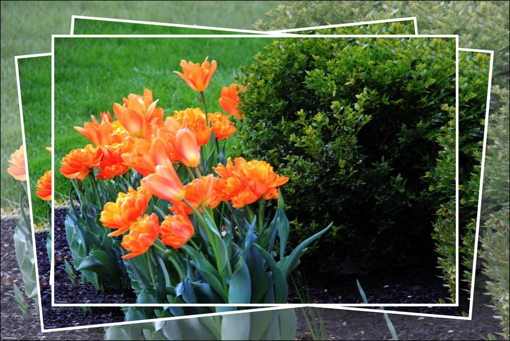 Orange Cream Pops by digitalrn