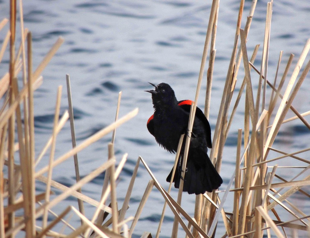 Red-Winged Blackbird by sunnygreenwood