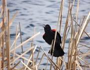 23rd Apr 2015 - Red-Winged Blackbird
