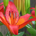 Asiatic Lily by seattlite