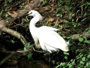 29th Apr 2015 - A Farewell to the Egret