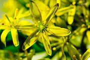 29th Apr 2015 - Yellow star-of-Bethlehem
