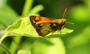 29th Apr 2015 - Sunshine and a Skipper butterfly