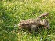 10th Apr 2015 - frog