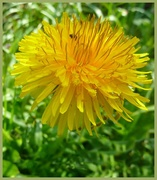 29th Apr 2015 - Insect in the Dandelion.