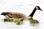 29th Apr 2015 - Geese in Training