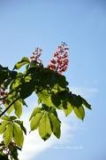 29th Apr 2015 - chestnut's bloom