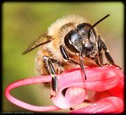30th Apr 2015 - Bee still