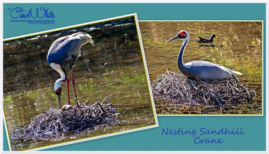 Nesting Sandhill Crane by carolmw