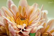 30th Apr 2015 - Closeup of my chrysanthemum