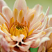 Closeup of my chrysanthemum by elisasaeter
