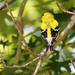 Glimpse of a Goldfinch
