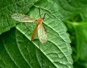 30th Apr 2015 - Orange Cranefly  (Limonia phragmitidis)