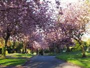 29th Apr 2015 - blossom avenue