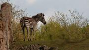 30th Apr 2015 - Zebra