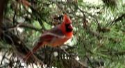 22nd Oct 2010 - Cardinal