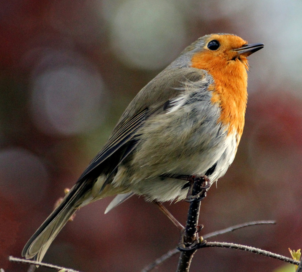 My First 365 Robin by phil_howcroft