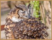 1st May 2015 - Mackinder Eagle Owl
