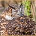 Mackinder Eagle Owl