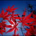 backlit maple by aikimomm