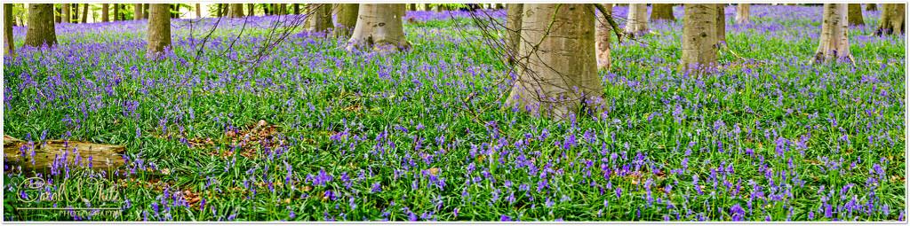 Bluebell Wood, Coton Manor Gardens by carolmw