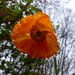 Welsh Poppy by susiemc