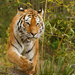 Siberian Tiger by leonbuys83