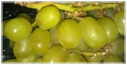 30th Apr 2015 - Grapes