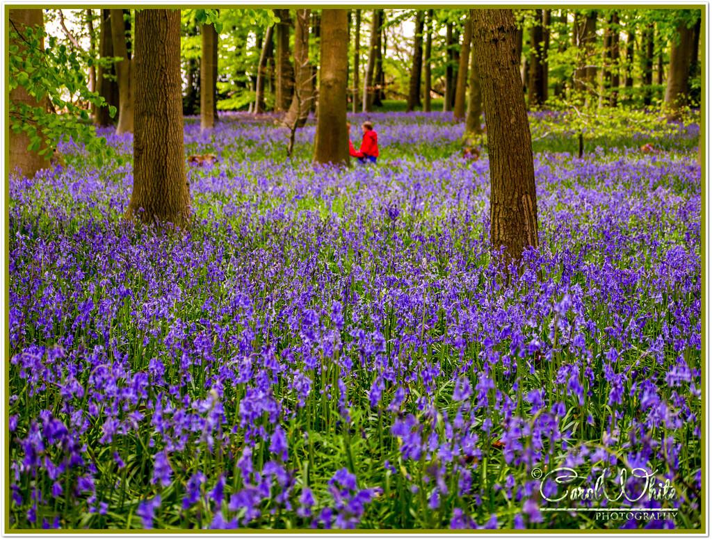 Walking Through The Bluebells by carolmw
