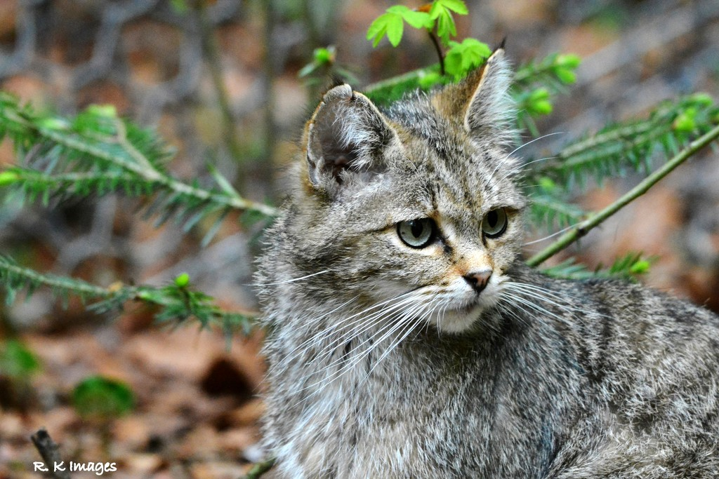 Wild cat by rosiekind