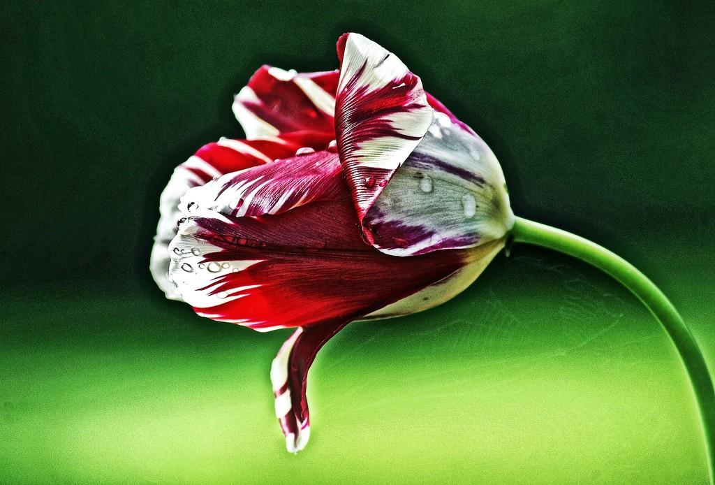 Tired Tulip by jack4john