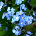 Forget-me-not by julienne1