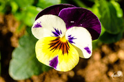 3rd May 2015 - Viola tricolor