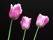 3rd May 2015 - Three Tulips