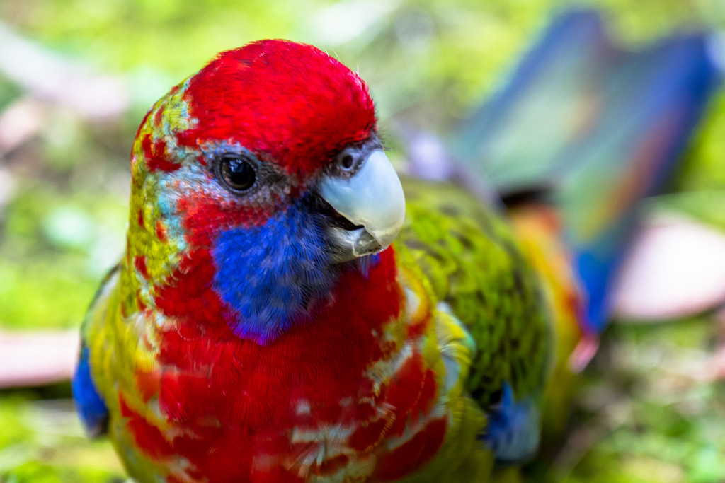 Cheeky Rosella by pusspup