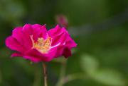 4th May 2015 - Wild Rose
