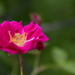 Wild Rose by randystreat