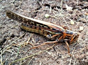 4th May 2015 - Giant Grasshopper