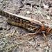 Giant Grasshopper by harbie