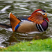 Mandarin Duck by carolmw